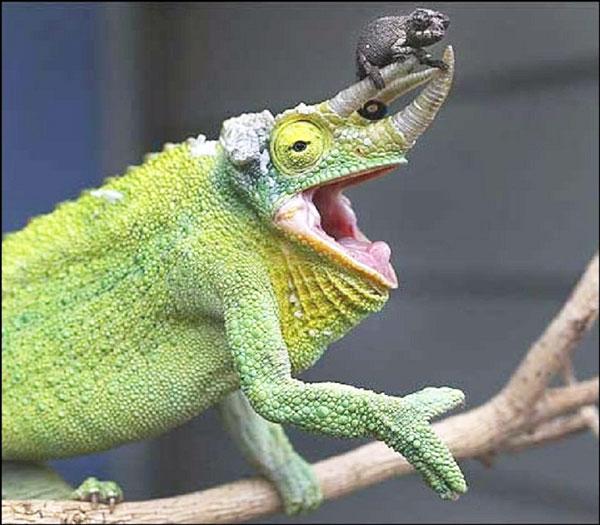 baby-chameleon