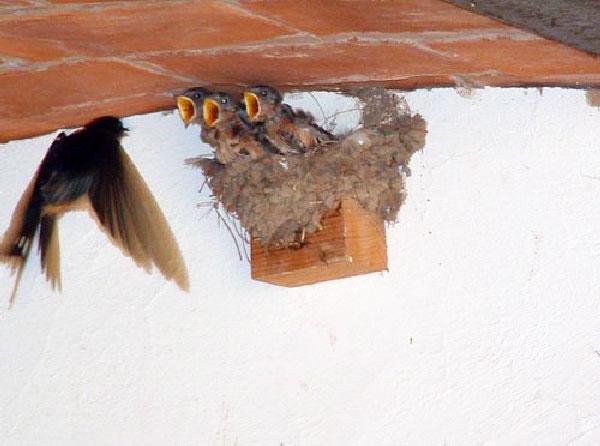 bird nestlings
