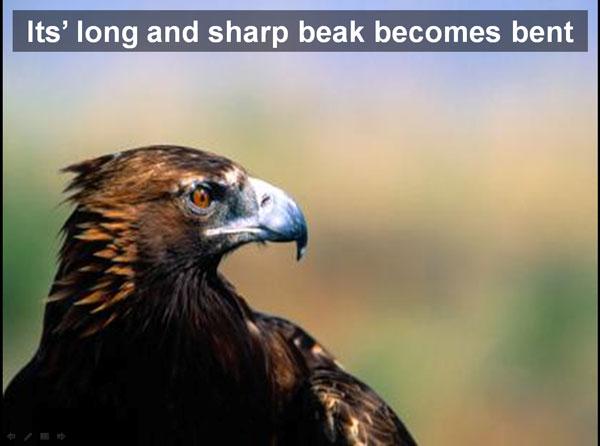 eagle-bent-beak