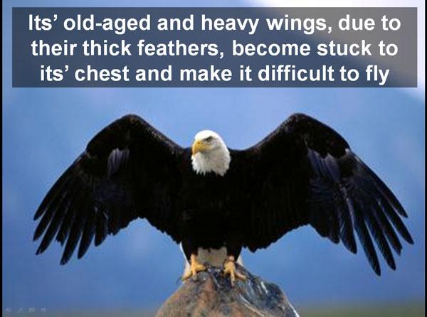 eagle-heavy-wings