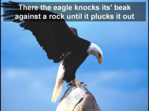 eagle-plucks-out-its-beak