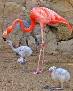 flamingo and baby