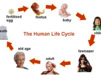 human life cycle stages