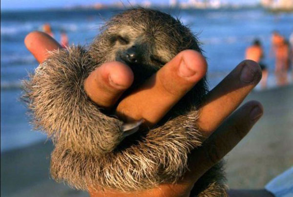 sloth-baby