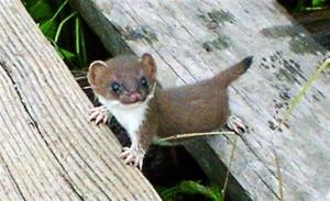 baby-stoat