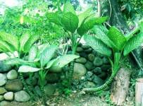 dumb cane plant dangerous