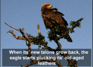 eagle-plucks-out-its-feathers