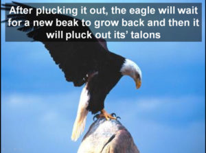 eagle-plucks-out-its-talons