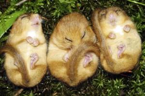 hibernating dormice