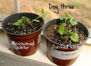 microwaved water on plant day 3