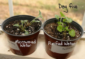 microwaved water on plant day 5
